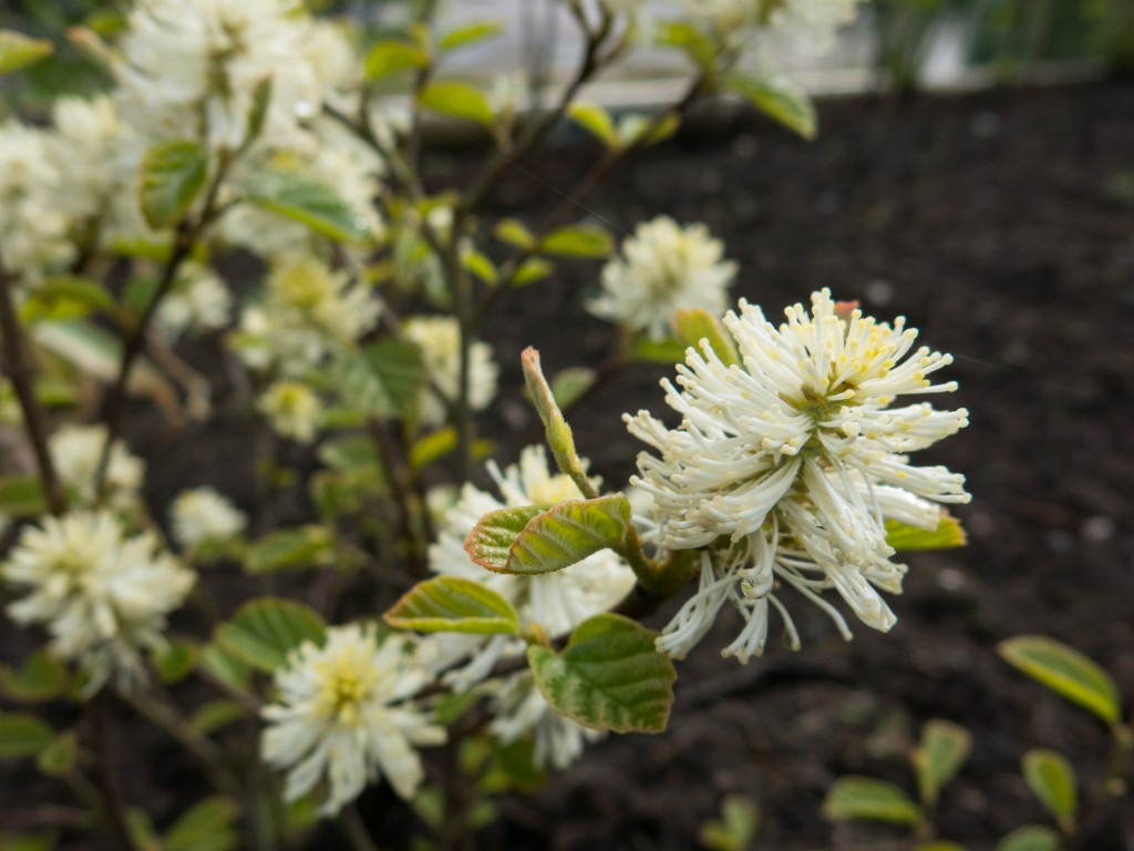 Stor häxal – Fothergilla major