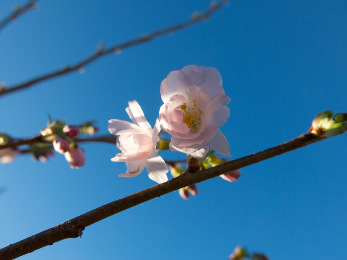 Prunus Accolada